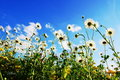Daisy flowers in summer Royalty Free Stock Photo