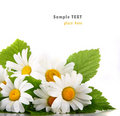 Daisy flowers in white background (shallow DOF) Stock Image