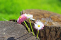 Daisy Flowers On Wood