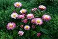 Daisy In A Garden.