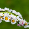 Daisy garland Royalty Free Stock Photography