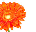 Daisy gerbera flower Royalty Free Stock Photos