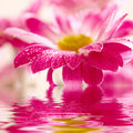 Daisy-gerbera reflected in water Royalty Free Stock Image