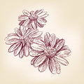 Daisy hand drawn vector sketch