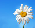 Daisy with heart Royalty Free Stock Photo