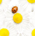 Daisy with ladybug Royalty Free Stock Photo