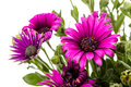 Daisy latin béllis genus of perennial plants in the family asteraceae Stock Photo