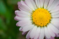 Daisy leucanthemum vulgare macro photography of with natural background Stock Photo