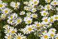 Daisy Meadow Royalty-vrije Stock Foto's