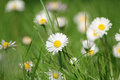 Daisy meadow Stock Photography