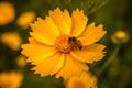 Daisy medow yellow closeup shot Stock Photography