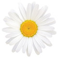 Daisy oxeye isolated macro closeup detailed leucanthemum vulgare lam Stock Photography