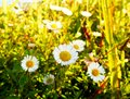 Daisy oxeye on a sunny morning Royalty Free Stock Photo