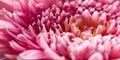 Daisy Pink Flower - Macro Stock Afbeeldingen