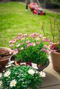 Daisy potted plants on terrace with green lawn and lawn mower Royalty Free Stock Photo