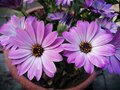 Daisy purple and pink flower Royalty Free Stock Photo