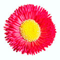 Daisy red and yellow isolated on white Royalty Free Stock Photos