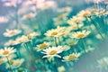 Daisy spring daisy beautiful field meadow of Royalty Free Stock Photos