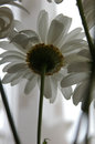 Daisy underside view the flowers Stock Photography