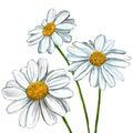 Daisy vector illustration hand drawn painted Royalty Free Stock Photo
