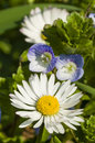 Daisy and Veronica flowers Royalty Free Stock Images