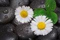 Daisy on wet stones Royalty Free Stock Photo