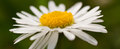 Daisy white yellow flower nature spring Royalty Free Stock Images