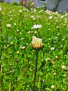 Daisyflower Royalty Free Stock Photo
