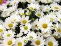 Daisys Royalty Free Stock Photo