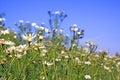 Daisywheels on field Stock Image