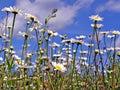 Daisywheels on field Stock Photos