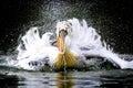 Dalamtian Pelican