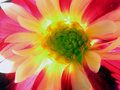 Dalia flower Stock Photography