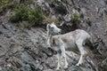 Dall sheep Alaska Royalty Free Stock Photo