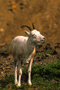 Dall Sheep Ewe Royalty Free Stock Photography