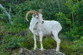 Dall Sheep Ram Royalty Free Stock Photo