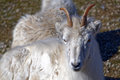 Dall sheep s ovis dalli is a species of native to northwestern north america Stock Photos