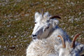 Dall sheep s ovis dalli is a species of native to northwestern north america Stock Photo