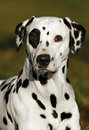Dalmatian Royalty Free Stock Photography
