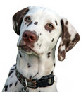 Dalmatian Stock Photos