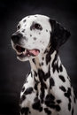Dalmatian dog on black beauty background Stock Images