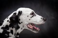 Dalmatian dog on black beauty background Royalty Free Stock Images