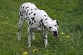 Dalmatian dog eating grass Royalty Free Stock Photo