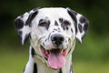 Dalmatian Dog Royalty Free Stock Photo