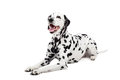 Dalmatian dog isolated on white beauty background Stock Photos