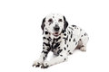 Dalmatian dog isolated on white beauty background Royalty Free Stock Photos