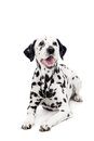 Dalmatian dog isolated on white beauty background Royalty Free Stock Image