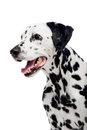 Dalmatian dog isolated on white beauty background Royalty Free Stock Images