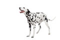 Dalmatian dog isolated on white beauty background Stock Photography