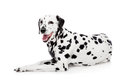 Dalmatian dog isolated on white beauty background Royalty Free Stock Photography